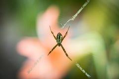 Argiope keyserlingi Spider Stock Photo