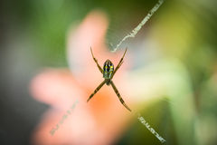 Argiope keyserlingi Spinne Stockfoto