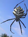 Argiope lobata spider against the sky. Fantastic pose of a spider hanging on the spiderweb thread against blue sky Royalty Free Stock Image