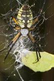 Argiope negro-y-amarillo femenino (aurantia del Argiope) Imágenes de archivo libres de regalías