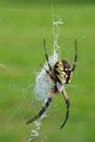 Argiope Negro-y-amarillo - hembra Fotos de archivo