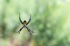 Argiope sp. spider from South Korea Royalty Free Stock Photo