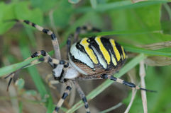 Argiope Spider 2. In North America, Argiope aurantia is known as the black and yellow garden spider. In England, Argiope bruennichi, where it is found only on Royalty Free Stock Image