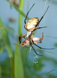 Argiope spider Royalty Free Stock Photos