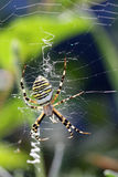 Argiope (spider) Royalty Free Stock Photography