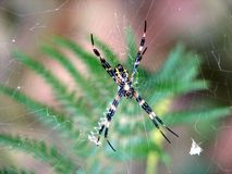 Argiope Spider Stock Photography