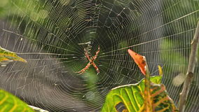 Argiope spider in afternoon sun in Bali, Indonesia Royalty Free Stock Image