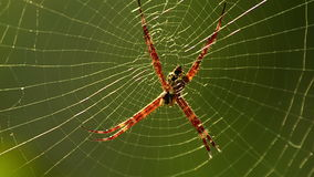 Argiope spider in afternoon sun in Bali, Indonesia Stock Photo