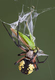 Argiope spider biting hopper Stock Image