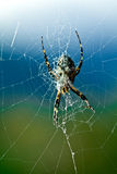Argiope Spider Royalty Free Stock Image