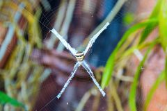 Argiope spider with cobweb. The body has stripes yellow, black red and White Stock Image