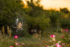 Argiope Spider at Dawn Royalty Free Stock Images