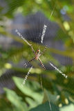 Argiope Spider Stock Photo