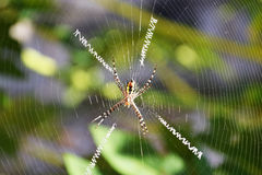 Argiope Spider Royalty Free Stock Photography