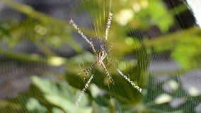 Argiope spider stock video