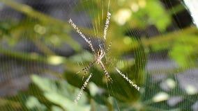 Argiope spider stock video