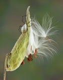 Argiope spider on milkweed Royalty Free Stock Image