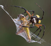 Argiope spider wrapping hopper. A female argiope spider is wrapping up a grasshopper caught in her web Stock Photos
