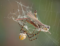 Argiope spider wrapping hopper Stock Image