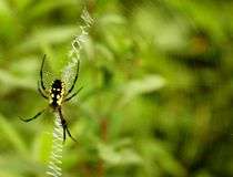 Argiope Spider. Yellow and black spider on web stock photography