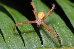 Argiope-Spinne stockfotografie