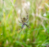 Argiope-Spinne Stockfotos