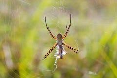 Argiope trifasciata eating a grasshopper. A spectacular spider, Argiope trifasciata, eating a grasshopper in Spain Stock Photo