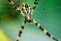Argiope versicolor in natural knitted fiber. Argiope versicolor in nature, head and chest are grayed out. The belly has a yellowish white band Royalty Free Stock Images