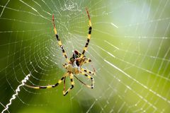 Argiope versicolor in natural knitted fiber. Argiope versicolor in nature, head and chest are grayed out. The belly has a yellowish white band Royalty Free Stock Photo