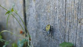 Argiope Wasp Spider stock footage