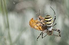 Argo spider Stock Photography