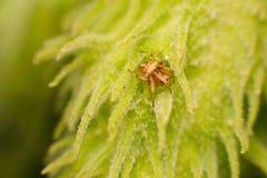 Argt spindelnederlag i milkweed Royaltyfri Bild