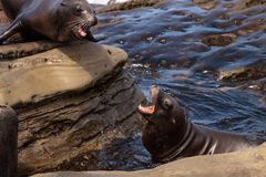 Arguing California sea lion Zalophus californianus. Shouting on the rocks of La Jolla Cove in Southern California Stock Photography
