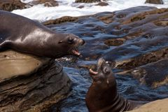 Arguing California sea lion Zalophus californianus. Shouting on the rocks of La Jolla Cove in Southern California Stock Photos