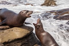 Arguing California sea lion Zalophus californianus. Shouting on the rocks of La Jolla Cove in Southern California Stock Images