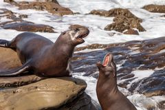 Arguing California sea lion Zalophus californianus. Shouting on the rocks of La Jolla Cove in Southern California Royalty Free Stock Image
