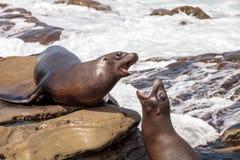 Arguing California sea lion Zalophus californianus. Shouting on the rocks of La Jolla Cove in Southern California Stock Photo