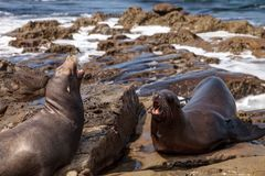 Arguing California sea lion Zalophus californianus. Shouting on the rocks of La Jolla Cove in Southern California Royalty Free Stock Photography