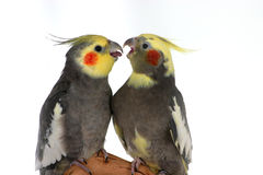 Arguing Cockatiels Stock Images