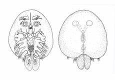 Argulus foliaceus 黑白的Amaryllis.Sketch 向量例证