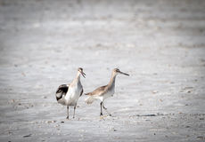 argumentação de 2 pássaros Imagens de Stock Royalty Free