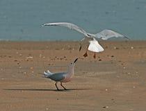 Argumentação delgada das gaivota Imagem de Stock