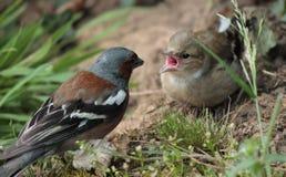 Argumentation d'oiseaux photo libre de droits