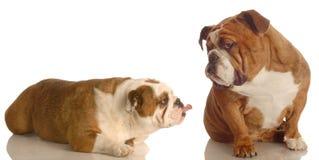 argumentera hundar två royaltyfria foton