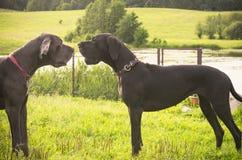 argumentera hundar två royaltyfria bilder