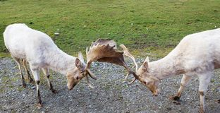 argumentera lägga i träda hjortar två Arkivfoto