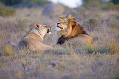 Argumento del león fotos de archivo libres de regalías