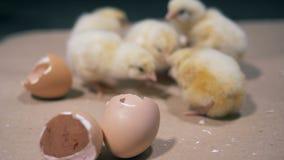 Argumento entre pintainhos do bebê para partes de cascas de ovo video estoque