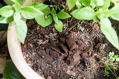 Argumentos de café usados o gastados que son utilizados como fertilizante de plantas natural Imagenes de archivo
