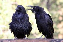 argumentowanie ptaki Obraz Stock